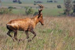 Bontebok mais rapidamente Foto de Stock Royalty Free