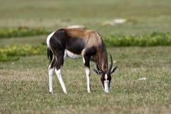 Bontebok, Bontebok, pygargus do Damaliscus foto de stock