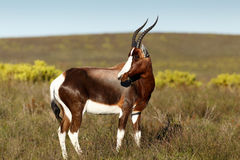 Bontebok Standing and Eating Grass Royalty Free Stock Photo