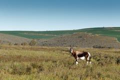 Bontebok in a wide open field Stock Images