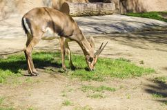 Bontebok. A young bontebok eating grass. A medium sized antelope of a chocolate brown colour distinct for their lyre-shaped and clearly ringed horns Royalty Free Stock Image