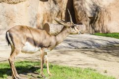Bontebok. A young bontebok standing on the grass. A medium sized antelope of a chocolate brown colour distinct for their lyre-shaped and clearly ringed horns Stock Photos
