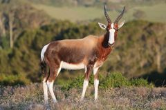 Bontebokantilope stock afbeelding