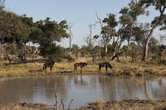 Bonteboks - antelopes - on a lake in Africa royalty free stock image