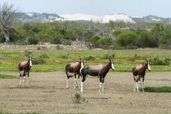Bonteboks in De hoop nature reserve Stock Photography