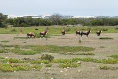 Bonteboks in De hoop nature reserve Royalty Free Stock Photos