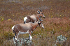 Bonteboks grazing near Cape Town Royalty Free Stock Photos