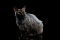 Bontsphynx Cat Looking omhoog op Zwarte Achtergrond royalty-vrije stock afbeeldingen