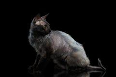 Bontsphynx-Kat met Groene ogen die terug op Zwarte kijken stock fotografie