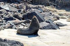 Bontverbinding het stellen op het strand in Otago, Nieuw Zeeland royalty-vrije stock fotografie