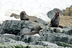 Bontverbindingen die op rotsen in Antarctica zitten stock afbeeldingen