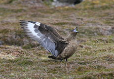 A Bonxie in full cry Royalty Free Stock Images