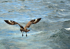 Bonxie hovering Royalty Free Stock Photography