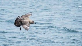 Bonxie, Stercorarius skua. Scapa Flow, Orkney. A great skua or bonxie, Stercorarius skua, landing on sea. Scapa Flow, Orkney, Scotland royalty free stock photos