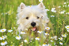 Bony Dog Portrait. Little White dog sitting in the Meadow Stock Photos