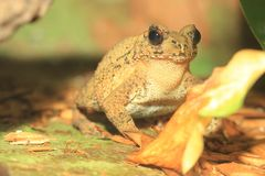 Bony-headed toad. Sitting on the soil royalty free stock photo