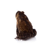 Bony-headed toad isolated on white Stock Photography
