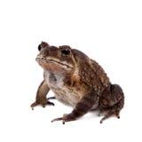 Bony-headed toad isolated on white Stock Image