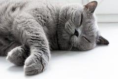 Bonya feliz o gato Imagens de Stock Royalty Free