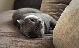 Bonya o gato Foto de Stock