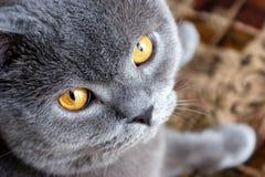 Bonya o gato Fotografia de Stock Royalty Free