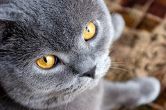 Bonya The Cat Royalty Free Stock Photography
