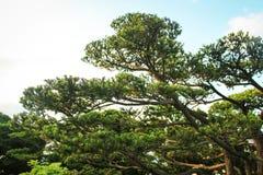 Bonzai叶子树 免版税图库摄影