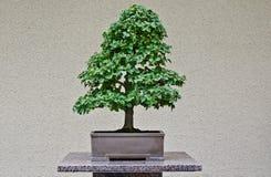 Bonzai结构树在日本庭院里 库存照片