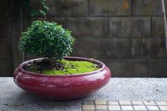 Bonzai на красном баке с mos Стоковая Фотография RF