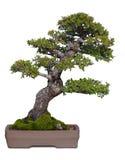 bonzai drzewo Zdjęcia Royalty Free