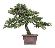bonzai drzewo Fotografia Royalty Free