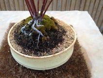 Bonzai korzenie Zdjęcie Royalty Free