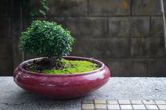 Bonzai op rode pot met mos Royalty-vrije Stock Fotografie