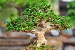 Bonzai plant Royalty Free Stock Image