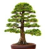 Bonzai träd Royaltyfri Fotografi