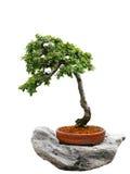 Bonzai träd Royaltyfri Bild