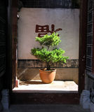 Bonzai Tree. In Lijiang China royalty free stock image