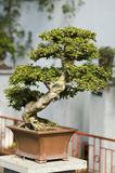 Bonzai tree. A small bonai tree in a square pot stock image