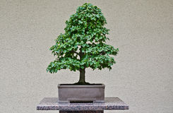 Bonzai tree in a Japanese garden stock photo