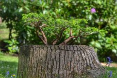 Bonzai tree planted tree stump Stock Photo