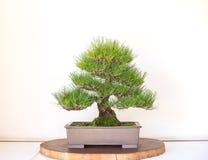 Bonzai Tree on white background Stock Photography