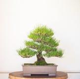 Bonzai Tree on white background Stock Images