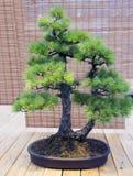 Bonzaies Âge japonais de pin blanc environ 70 ans Images libres de droits