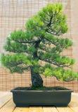 Bonzaies Âge japonais de pin blanc environ 70 ans ARS Photo libre de droits