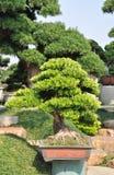 Bonzaies d'arbre de Yacca dans le bac photo stock
