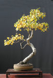 Bonzaies de bouleau dans la couleur d'automne Image libre de droits