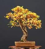 Bonzaies de chêne dans l'automne Photo stock