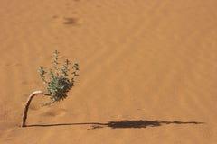 Bonzaies de désert Photos libres de droits