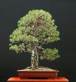 Bonzaies de pin écossais Photographie stock libre de droits