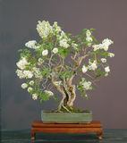 Bonzaies lilas, bonzaies fleurissants Photographie stock